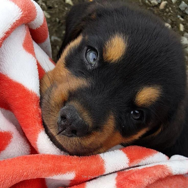"""Determine even more details on """"Rottweiler puppy"""". Browse"""