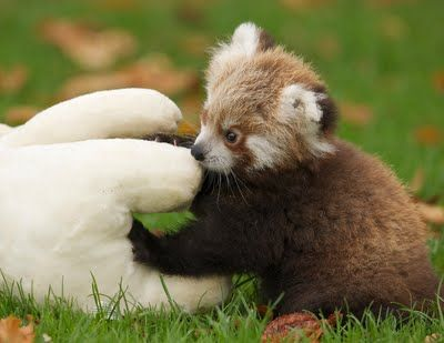 Aw Adorable Roter Panda Susseste Haustiere Niedliche Tierbabys