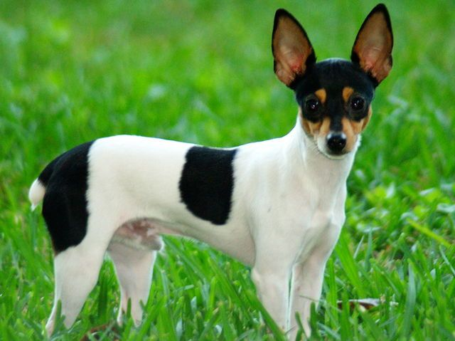 ~ TOY FOX TERRIER, IMAGINE MIXED W/A JACK RUSSEL TERRIER (HAD ONE FOR OVER A YEAR AS A FOSTER DOG) ~