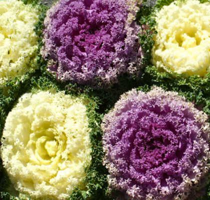 Нагоя капуста декоративная фото   Семена цветов, Цветы, Семена