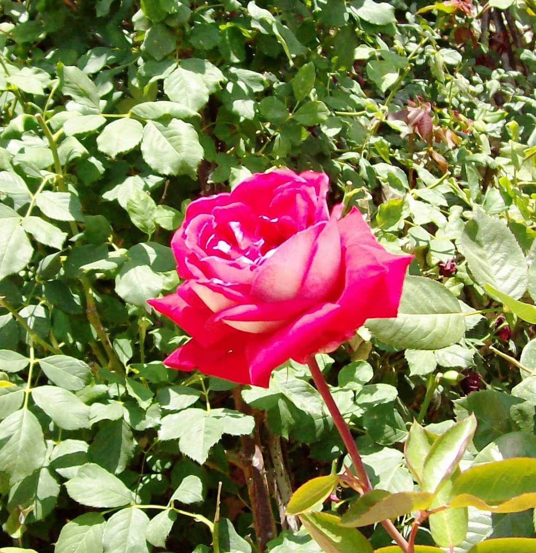 Mt Zion Rose In The Gardens At Peter In Gallicantu Rose Flowers Garden