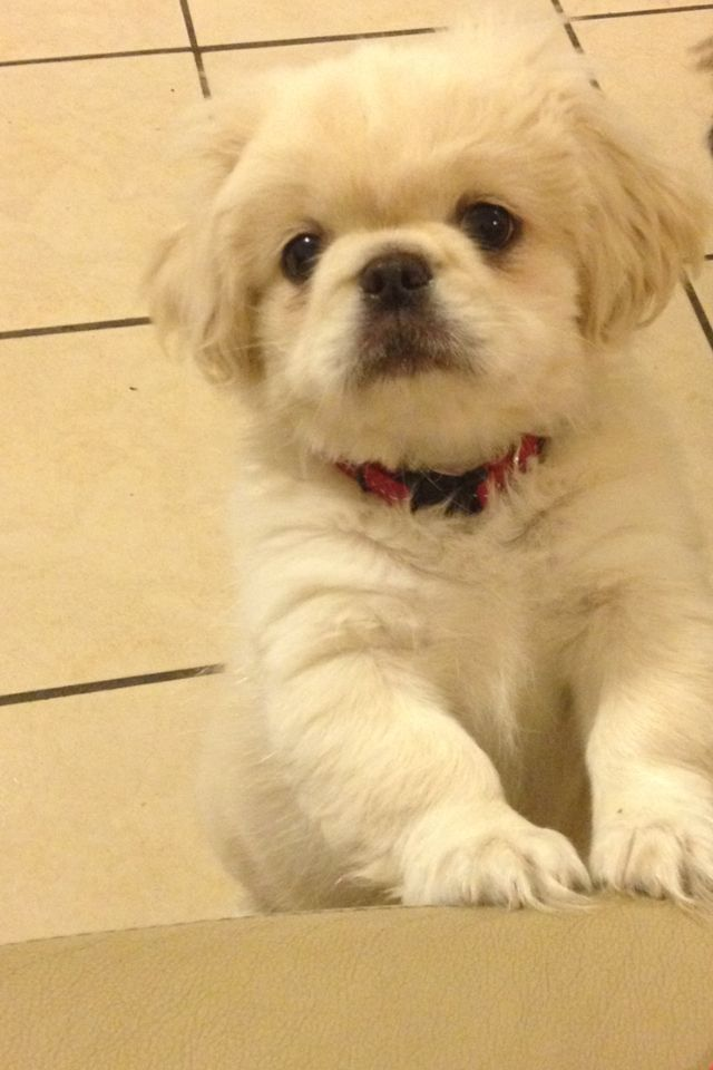 Click Visit Site And Check Out Best Pekingeses T Shirts This Website Is Outstanding Tip You Can Search Your Na Pekingese Puppies Pekingese Dogs Pekingese