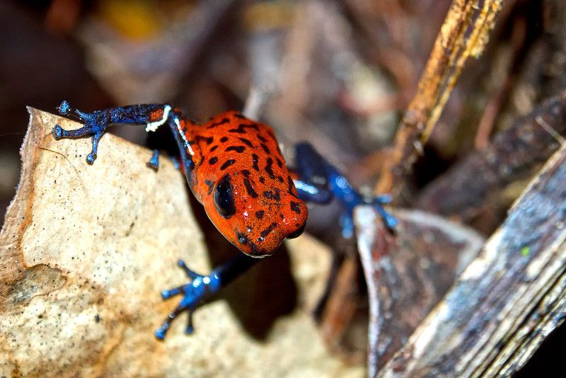 Strawberry Poison Dart Frog - What a cutie!