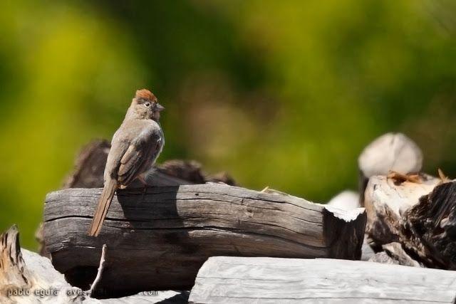 mis fotos de aves: Rascador Cañonero [Pipilo fuscus] Canyon Towhee