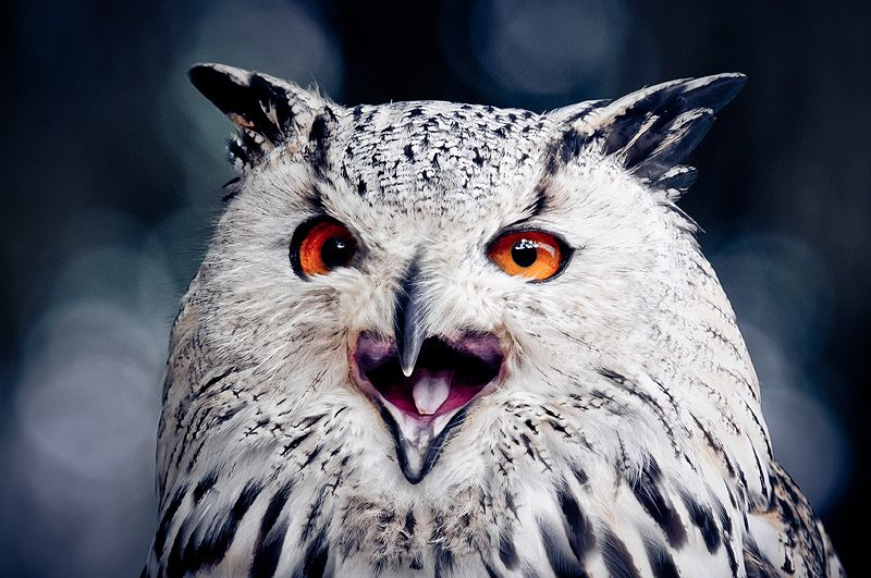 siberian eagle owl II by ~Schoelli on deviantART
