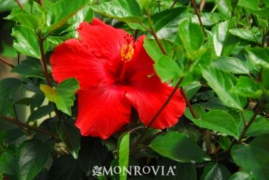 Brilliant Hibiscus Hot Red Color Adds Interest To Far Away Spots