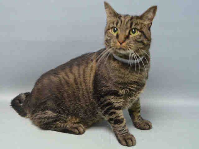 """ARIES - A1091668 - - Brooklyn *** TO BE DESTROYED 10/11/16*** ARIES IS THE SIGN OF THE RAM, BUT IN THIS CASE IT'S THE SIGN OF THE HEAD-BUTTER!!…..ARIES is a NEUTERED, four year old who is a head butt master….""""Aries head-butts vigorously and leans against the assessor. His tail quivers excitedly and he begins to purr. He continues to solicit attention and is very affectionate throughout the interaction""""…..But despite all that affection,"""
