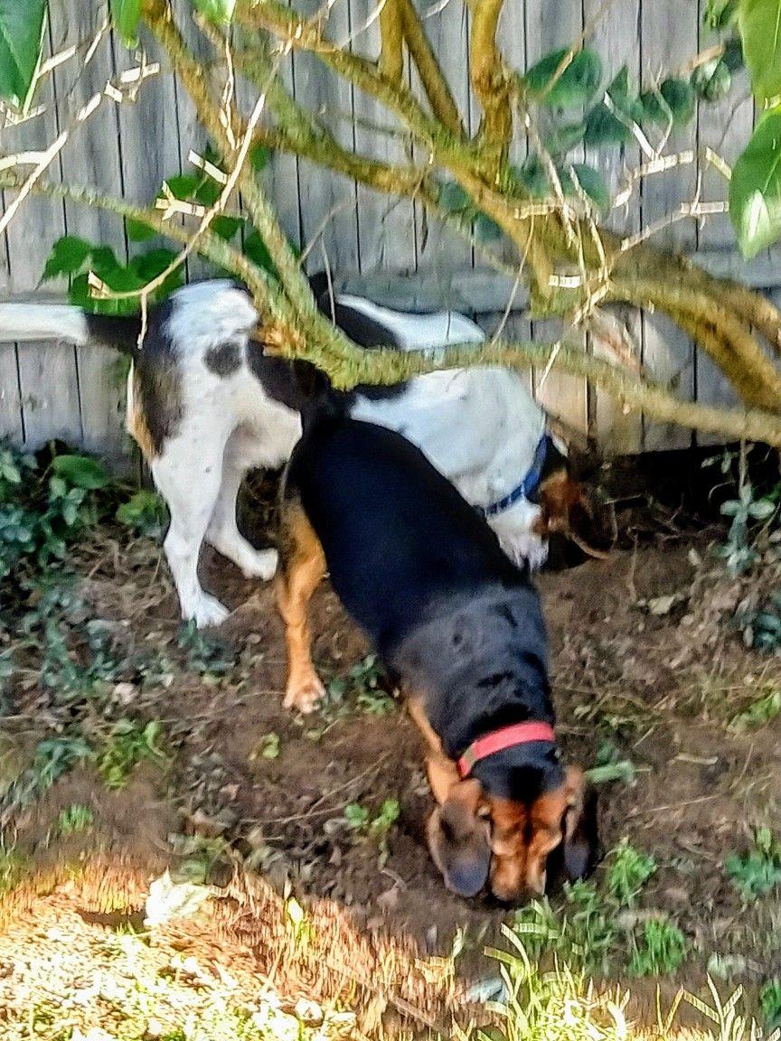 Pin By Kathy Leckinger On My Beagle Pups Beagle Beagle Puppy Pup