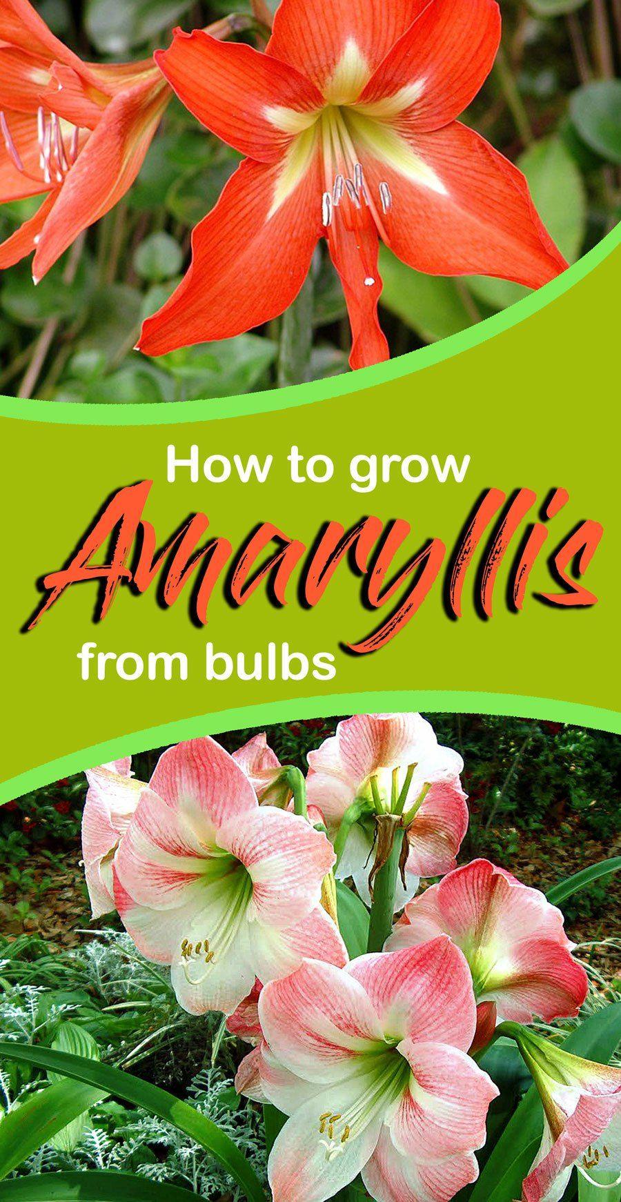 Growing Amaryllis From Bulbs Amaryllis Care Amaryllis Plant Amaryllis Bulbs