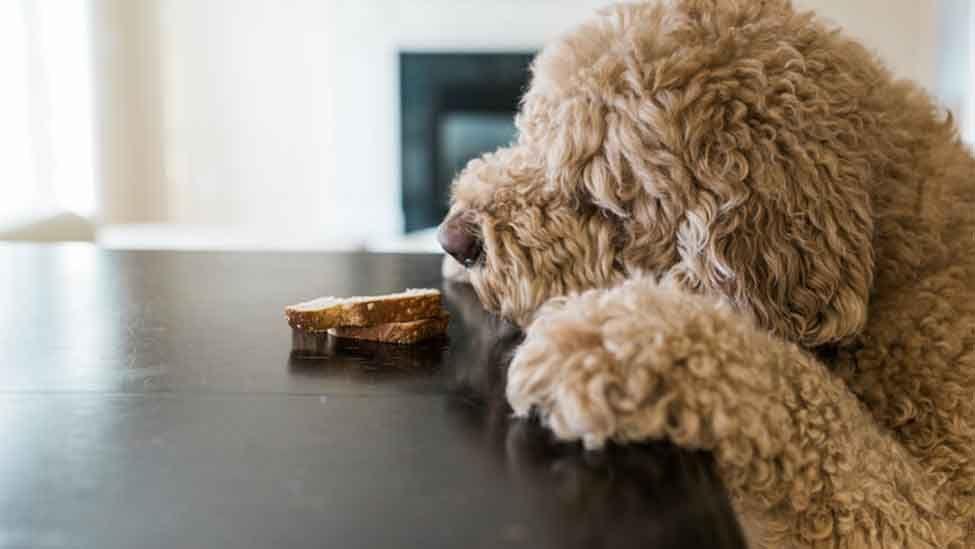 How Do I Keep My Dog Off The Counter Surfing Dogs Surfing Tips