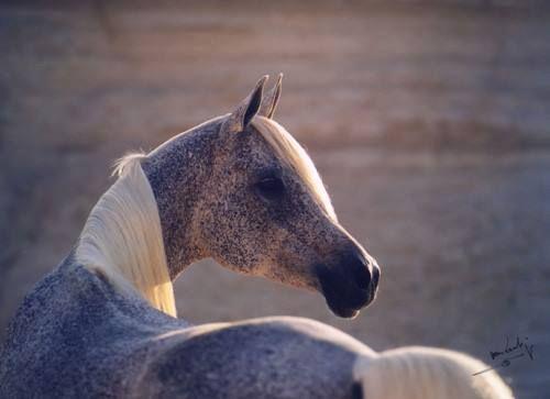 *Tiffaha flea-bitten grey horse