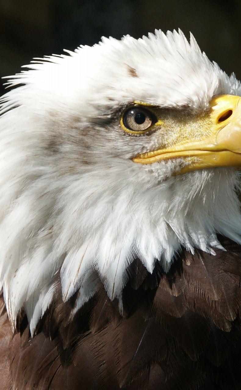 Bald Eagle Raptor Beak Feathers Animal Bald Eagle Eagle