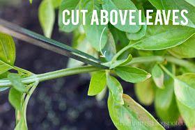 adventuruss: how to: prune a basil bush