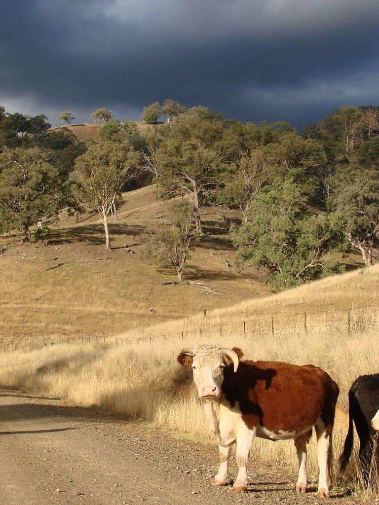 Cows at Tamworth, New South Wales_ Australia