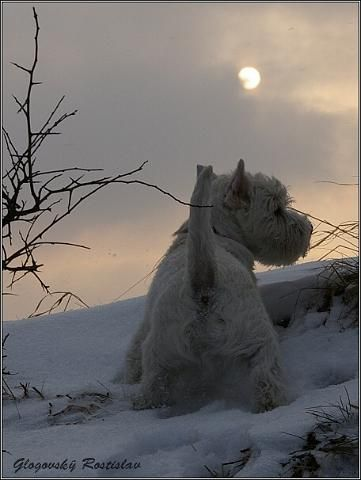 Snow .... Winter Sky.... and a beautiful Westie on watch!