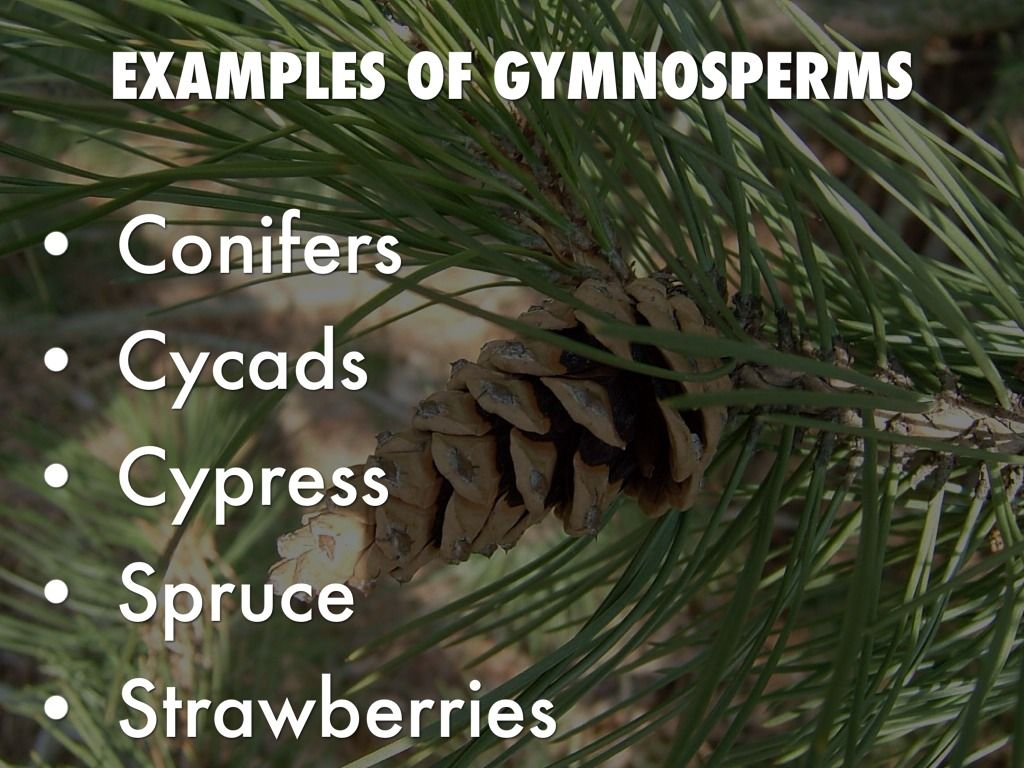 Angiosperms Amp Gymnosperms By Adam Clark