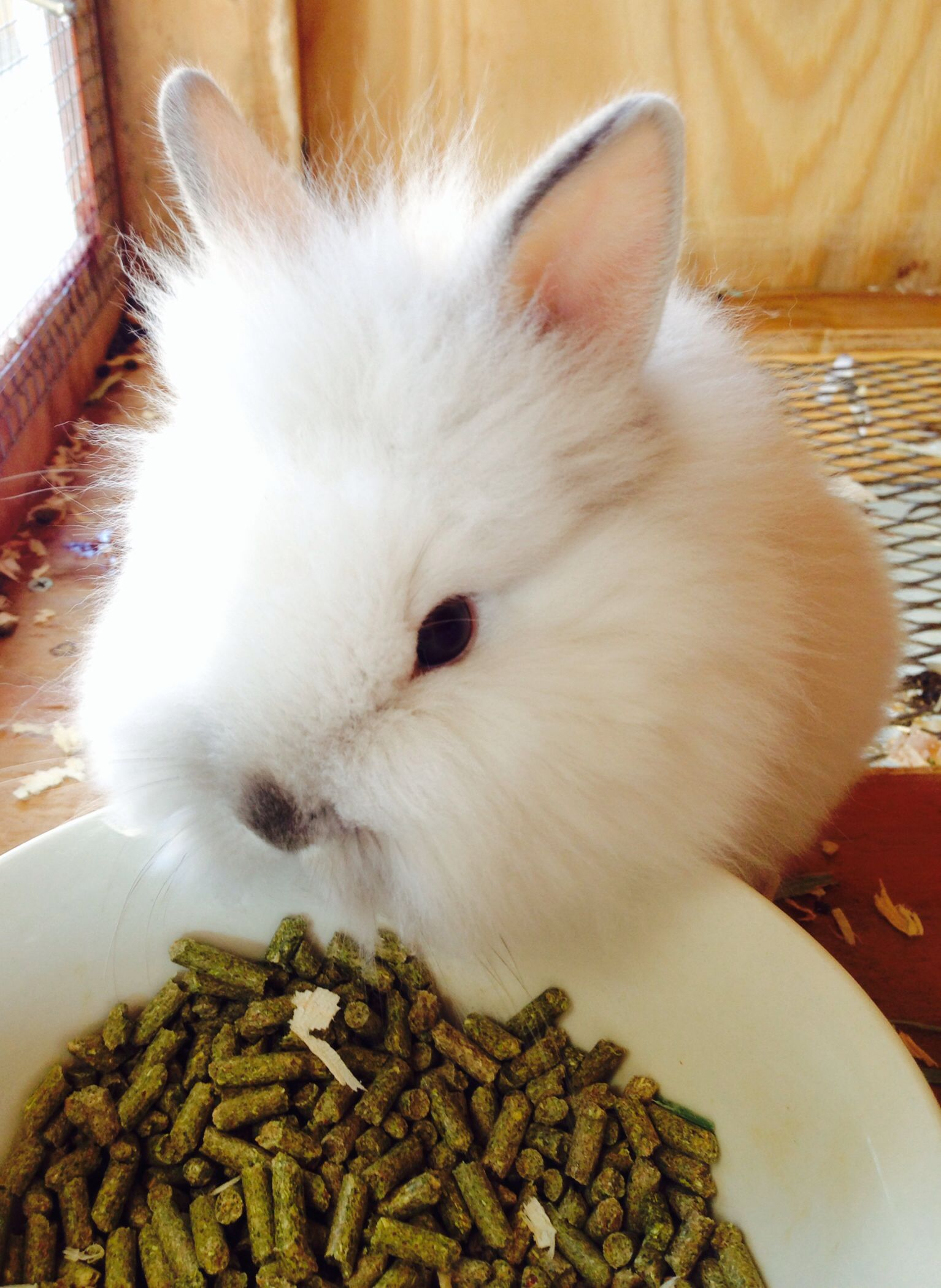 Baby lionhead rabbits for sale 20 rabbits for sale