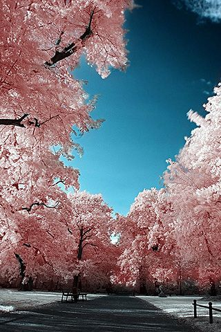 Japanese Cherry Blossoms Beautiful Landscapes Beautiful Nature Landscape