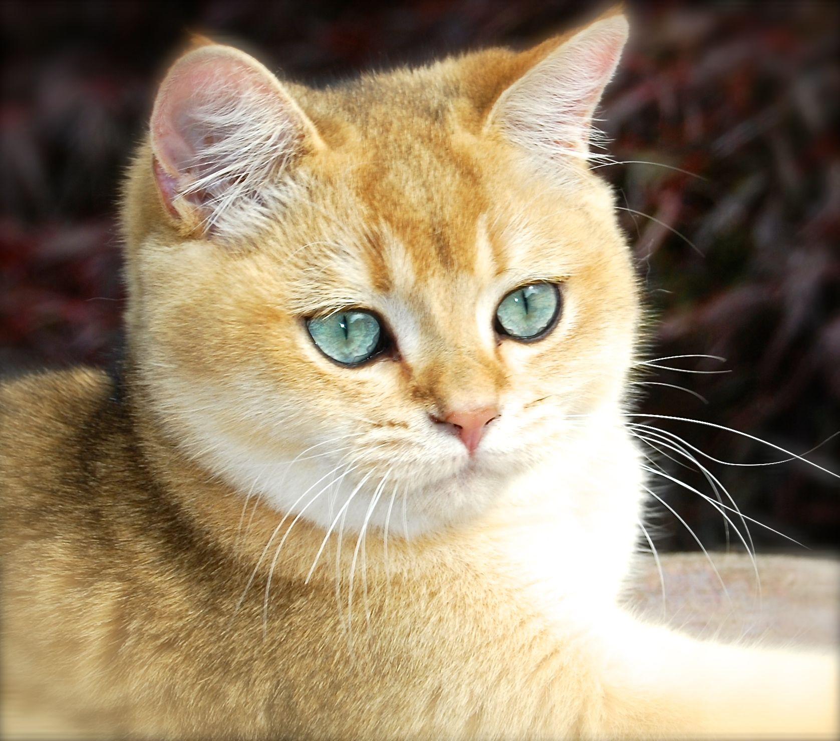 Aurum Golden Shaded British Shorthair British Shorthair British