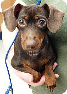 Dachshund Mix Dog For Adoption In Spokane Washington Rotini