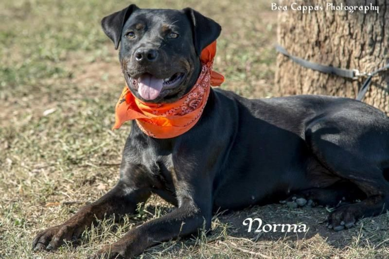 Adopt Norma A Tripod Rotti Mix Girl On Adoption Rottweiler