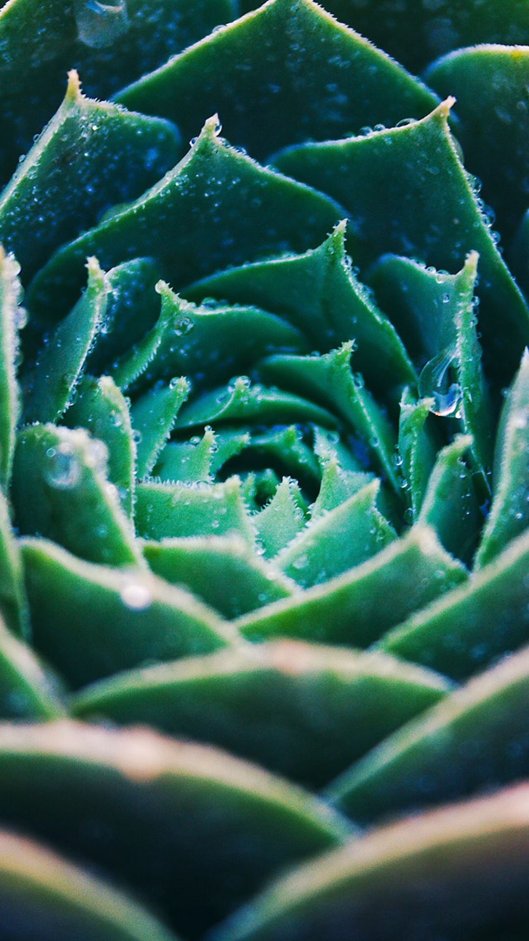Green Echeveria Blooming Closeup iPhone 8 Wallpapers (With