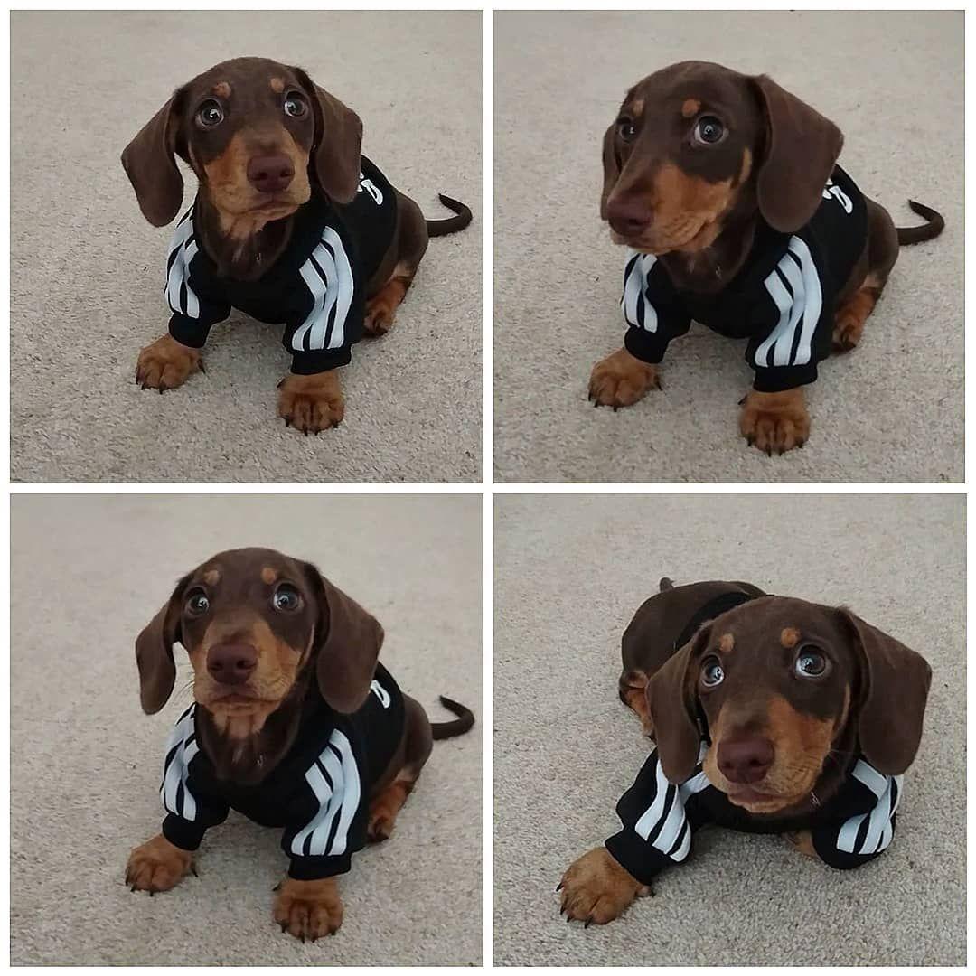 Dachshund Fashion Weenie Dogs Sausage Dog Dachshund Love