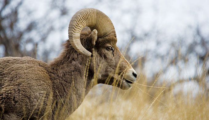 You would be very lucky indeed to see wild bighorn sheep up close. But even…