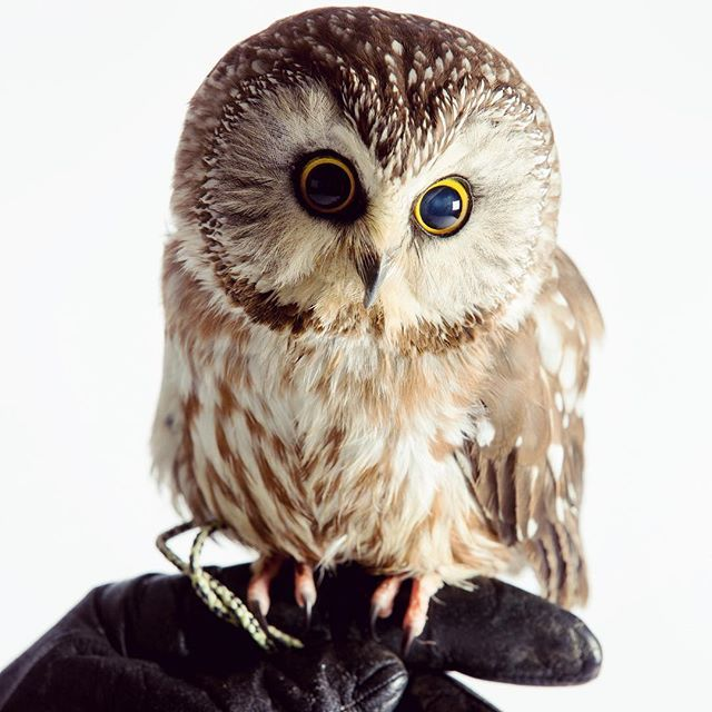 Chouette Weighs About The Same As A Tangerine She Lives At The Raptor Barn And Dines On Small Mice You Can Meet Her Dur Saw Whet Owl Owl Woodland Park Zoo