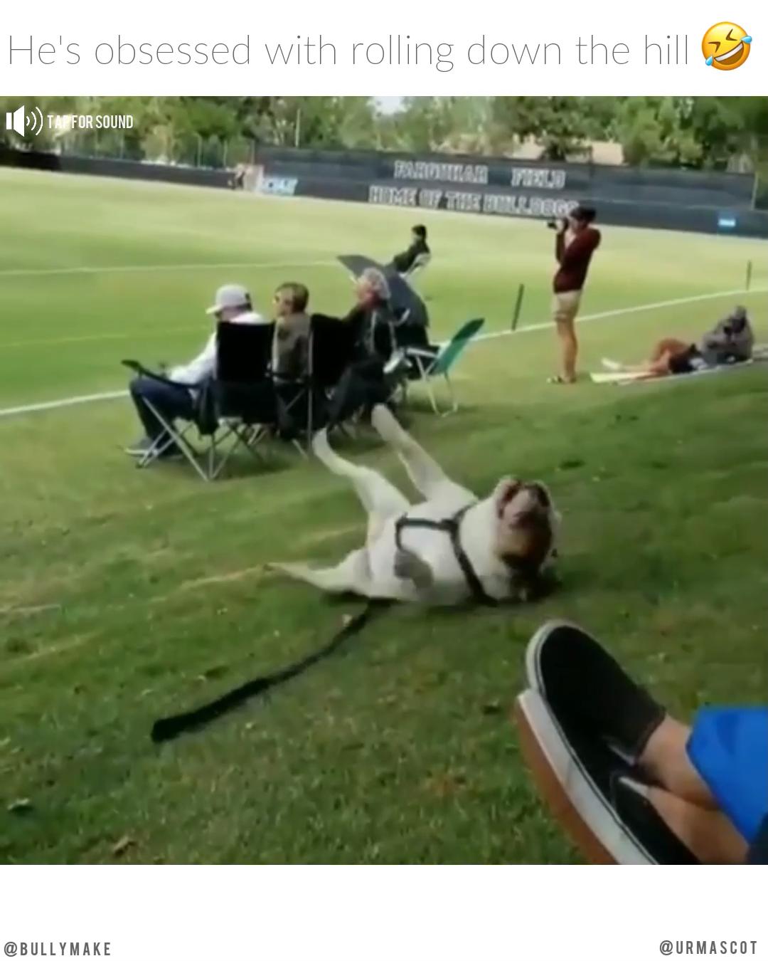 English Bulldog Incoming #funnybulldog