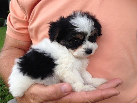 Biewer Yorkier for sale in Florida - Michelines pups