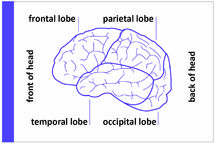 Diagram of the brain showing the four lobes health pinterest diagram of the brain showing the four lobes ccuart Images