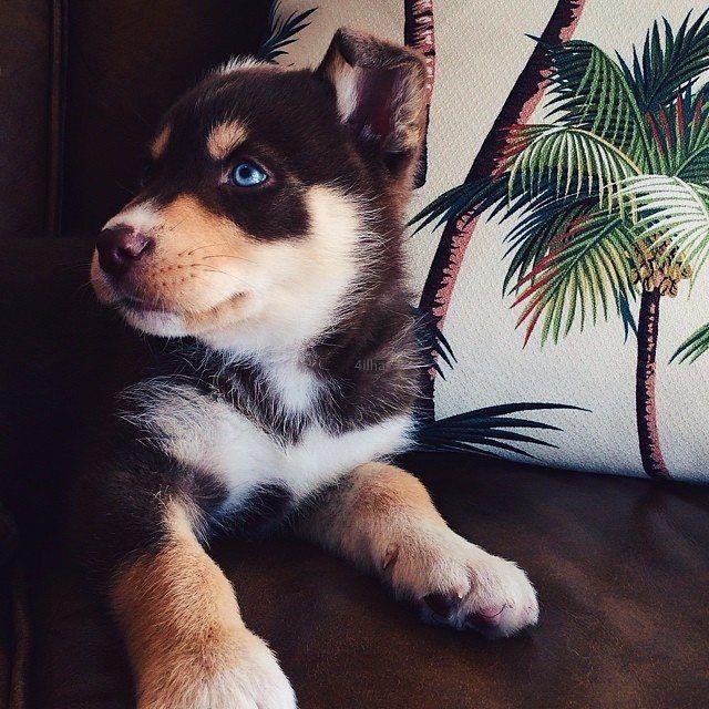 Most Inspiring Cute Puppy Blue Eye Adorable Dog - 0e8b77d9d4c819a019b99d313182b326  Pictures_559640  .jpg