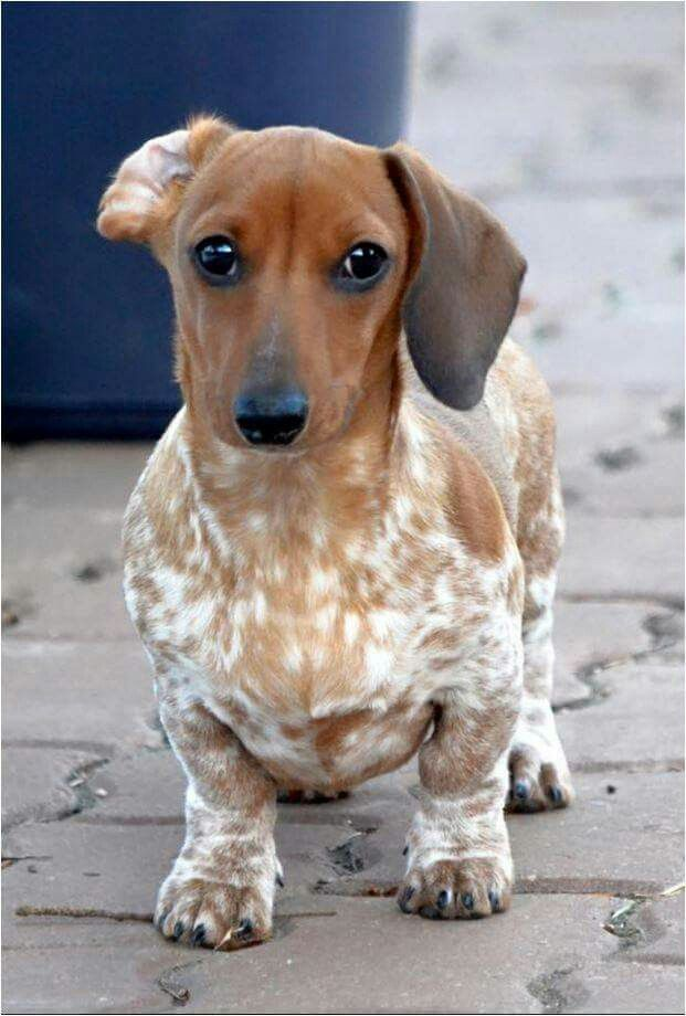 Pin By Julie Dimmick Neugebauer On Wieners Cute Puppies Pets