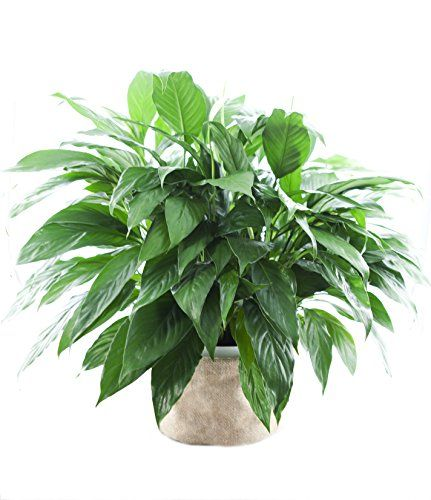 Large Purifying Peace Lily, Burlap Po… | Home | Pinterest | Peace on dwarf umbrella tree care, landscaping care, pets care, geraniums care, plant care, african violets care, flower care,