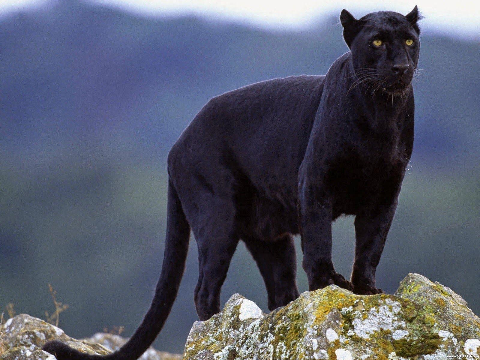 Puma Zwart Dier | Zwarte panter, Panter, Grote katten