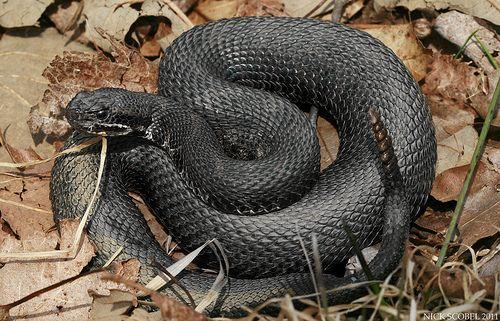 Eastern Massasauga Rattlesnake Melanistic Animals Animals Melanistic