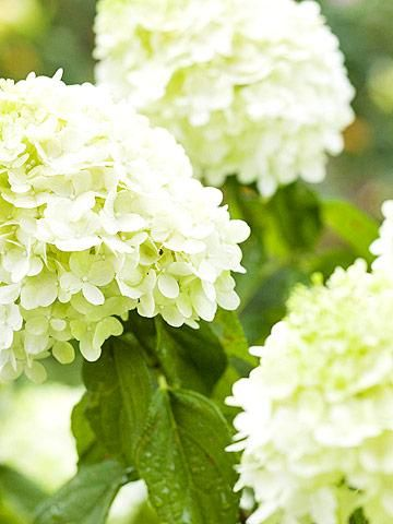 Heavenly Hydrangeas Midwest Living Type Of Flowers White Flowers Turn Pink Or Brown In Fall Leaves Go Red Where To Plant Grow In Outdoor Ideas Little Lime Hydrangea Flower