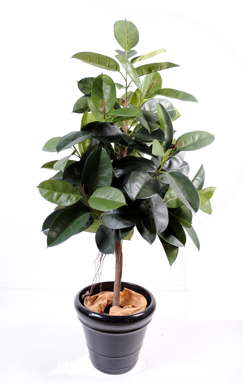 Ficus tree ficus elastica rubber plant tree dim 110 for Type de plante