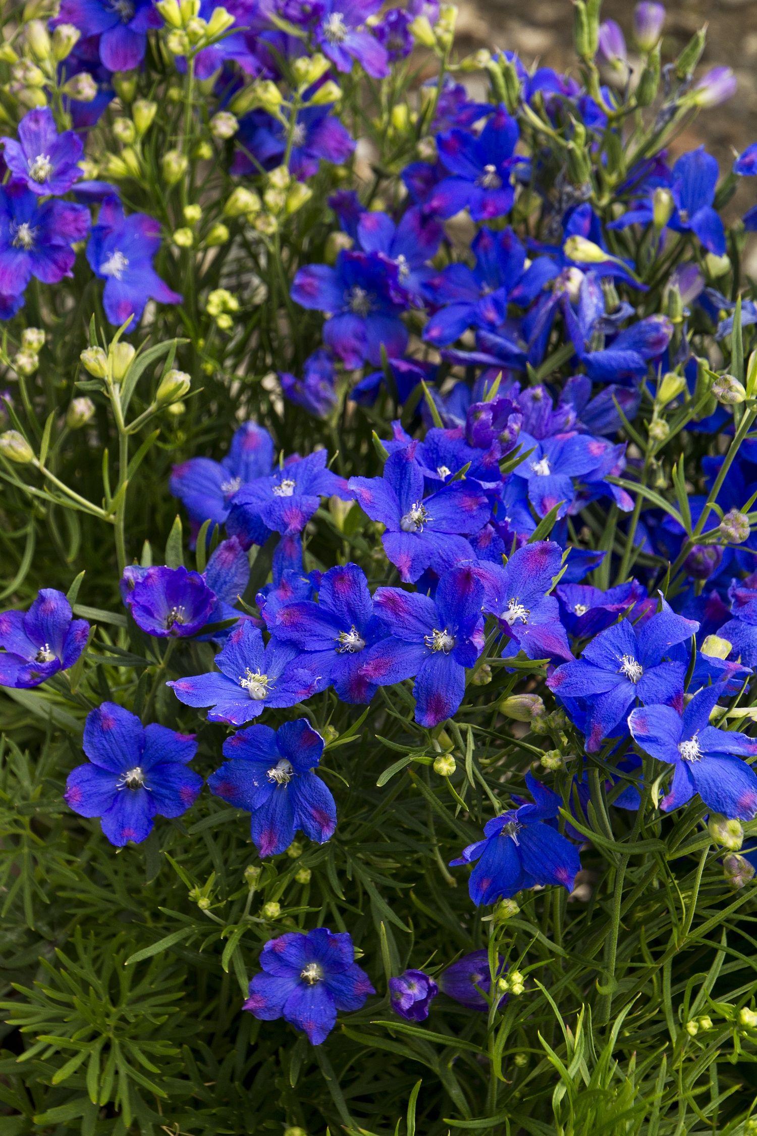 Blue Mirror Delphinium Tall Spires Of Brilliant Violet Blue Flowers