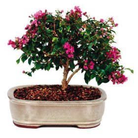 With delicate, crinkled vibrant pink/purple flowers blossoming mid to late summer, the Dwarf Crepe Myrtle bonsai tree adds welcome color to any deck, ...