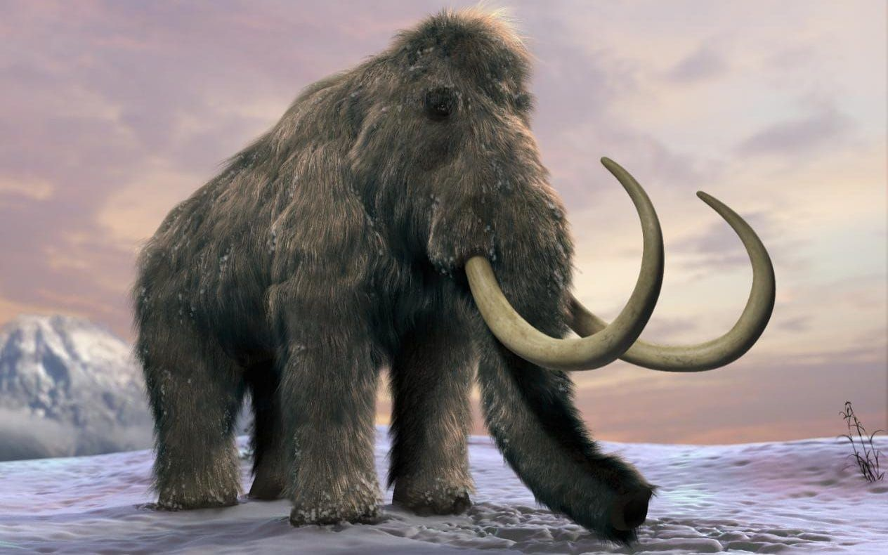 Woolly mammoth will be back from extinction within two
