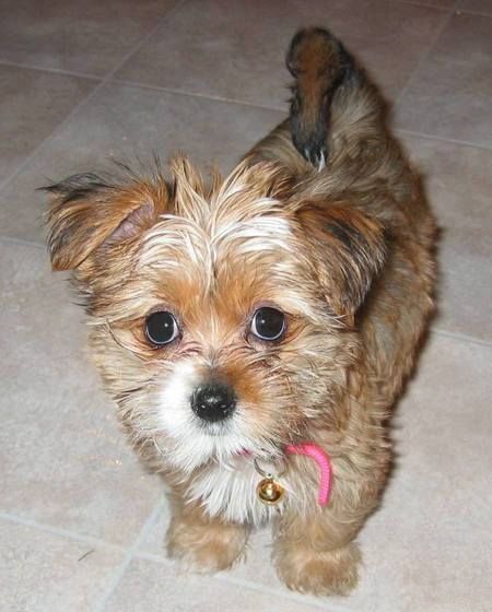 shih tzu terrier mix dogs ginger the shih tzu mix beautiful cute and funny dogs 2540