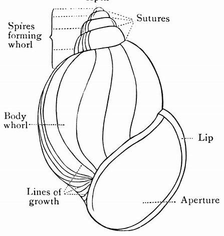 image result for diagram inside shell snails lavender snails rh pinterest com Gastropod Snail Shell Diagram Snail Shell Exterior