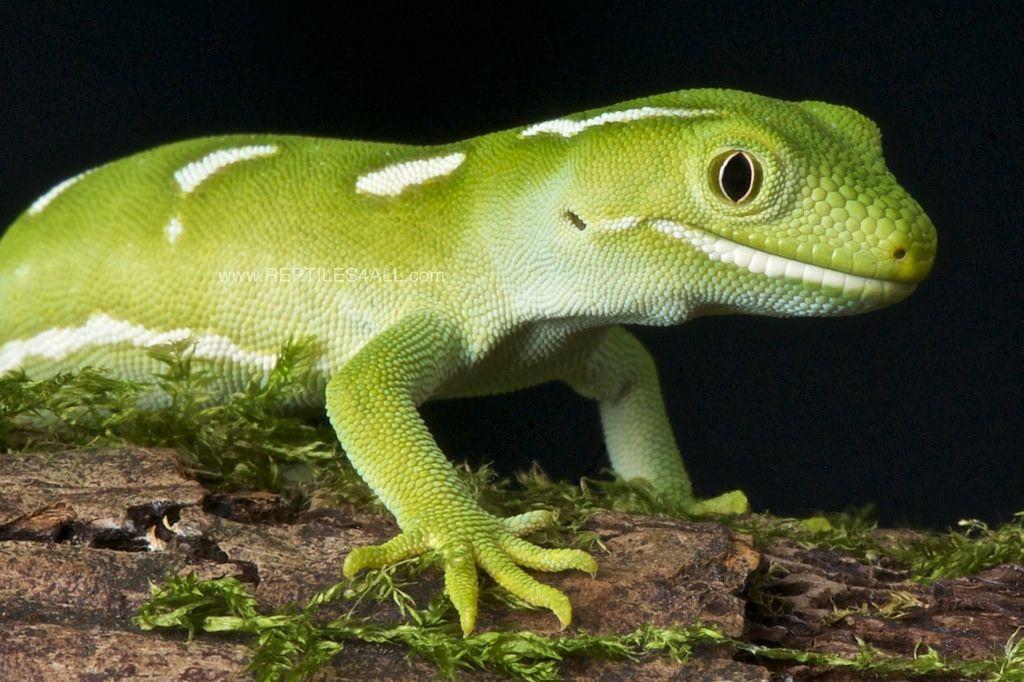 Auckland green gecko / Naultinus elegans elegans Lizard