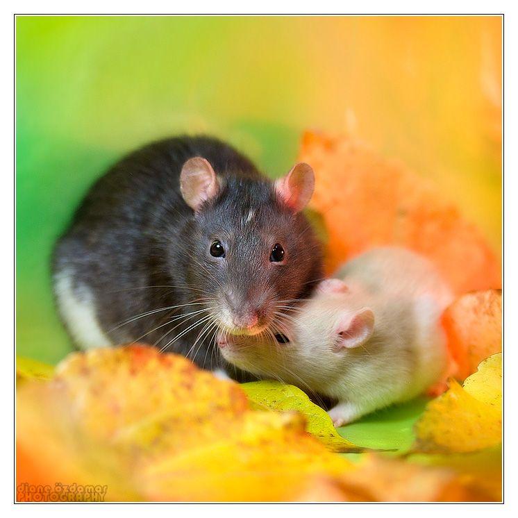 Motherly love - Fancy rats by DianePhotos.deviantart.com on @deviantART