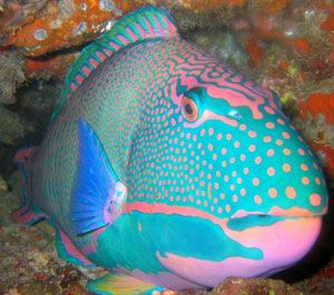 Parrot Fish - pink & turquoise (blue) i think this is the type of fish i would eat for breakfast if i were a fish. :)