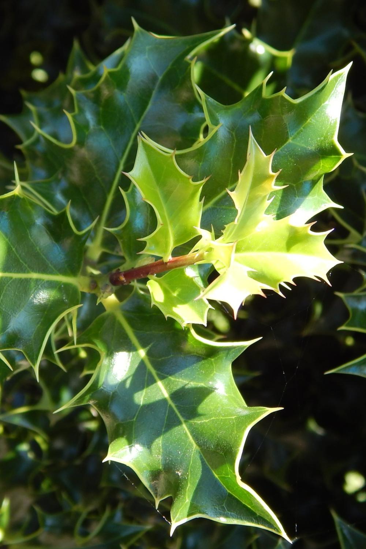 Learn the Herbal Uses of Holly in 2020 Herbalism, Herbal