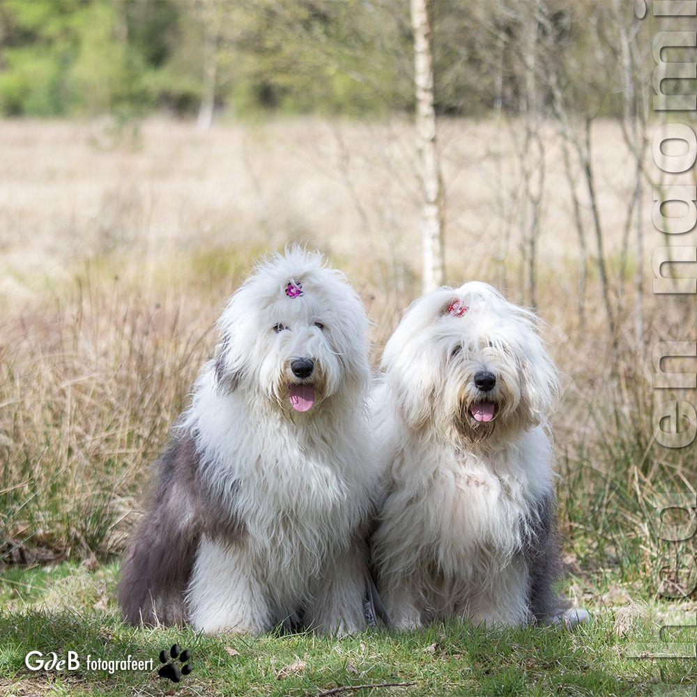 ft Rhea & Naomi Herding dogs, Herding cats, Old english