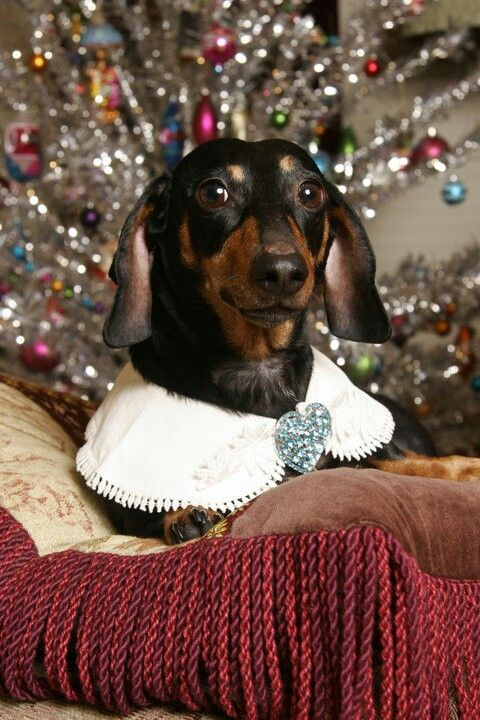 Merry Christmas Dachshund Puppy Holiday Dogs Santa Claus Dog